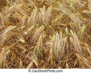 Barleycorn field - A barley corn field in Germany Europe