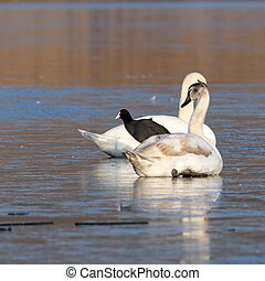 coot standing between two swans - black coot fulica atra...