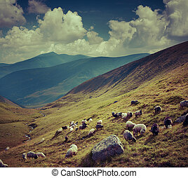 Flock of sheep  in the mountains.