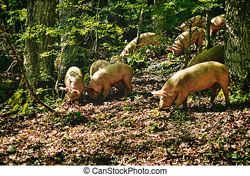 Italian Pigs - Herd of italian pigs eating acorns of oaks in...
