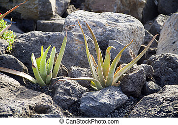 aloe - Aloe vera grows in the ground