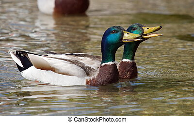 Mallard (anas platyrhynchos) ducks quacking