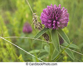 Flower Red clover- Trifolium pratense