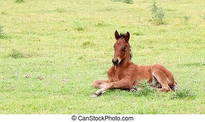 cute brown foal lying on field