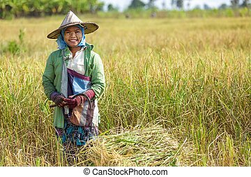 Woman harvesting rice with a  scythe in Thailand