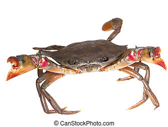 Crab with white background