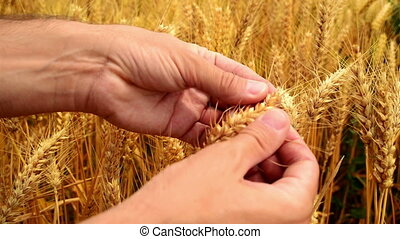 Male farmer hands in wheat field.