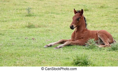 foal lying on field