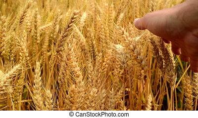 Male hands in wheat field.