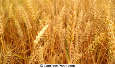 In wheat field Camera moving through golden ripening wheat...