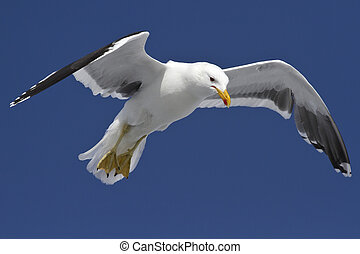 Dominican gull is soaring in the blue sky in Antarctica