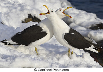 two Dominican gulls crying during mating season