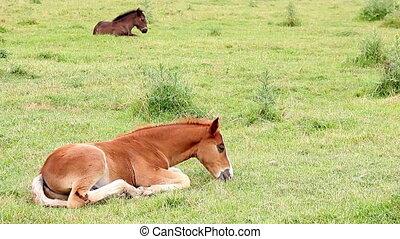 foals lying on field