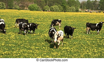 Lots of black and white cows walking on the field