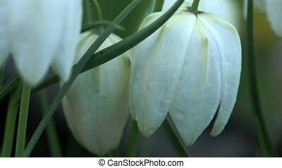 White snowdrop flowers - White beautiful snowdrop flowers...