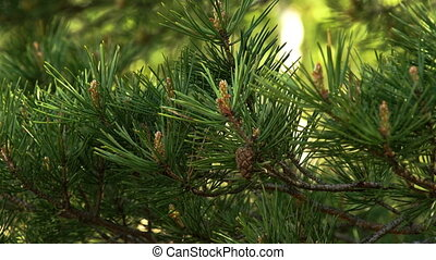 The fir cone from a pine tree - The brown fir cones from a...