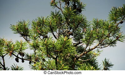 The pine tree with green leaves - The big pine tree with...