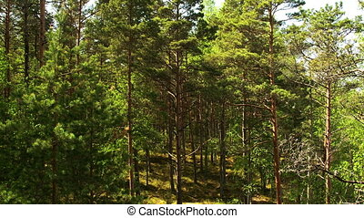 Lots of tall pine trees