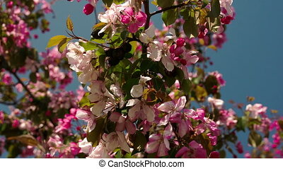 A cherry bloom plant - A red cherry bloom plant with its...