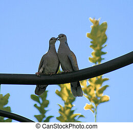 Pair of turtle doves