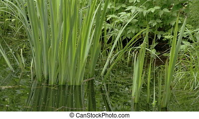 The yellow iris grass on the swamp with other grass on the...