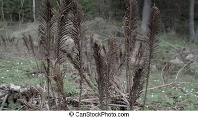 Set of old ferns in the forest - Set of old withered ferns...