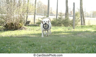 A running labrador with a ring
