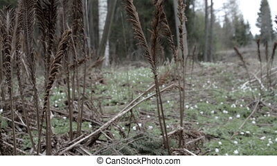 Old brown fern plants - Old withered brown fern plants found...