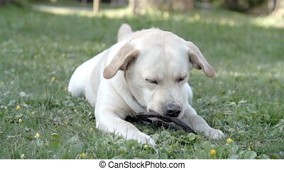 A white labrador dog playing with a ring