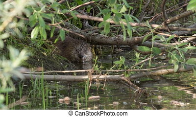Muskrat -  muskrat comes up from the hole