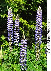 Blue and white Lupin flowers.