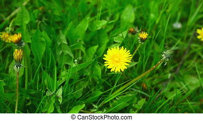 Dandelions - View of yellow dandelions in the grass.