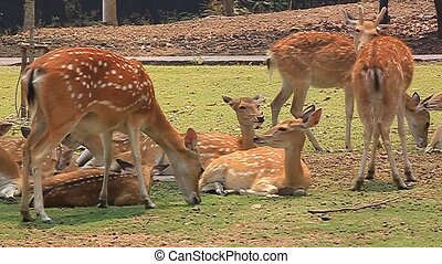 deer - Wildlife deer, red deer herd in a zoo in Chiang Mai,...