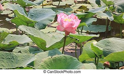 Lotus flowers, nature, plants, flowers stabilization
