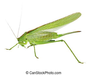 green grasshopper isolated on white, with clipping path
