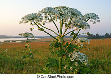 Giant Hogweed - Heracleum plant also called cow parsnip in...