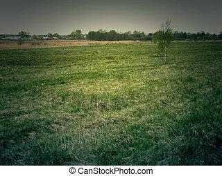 Birch on Meadow