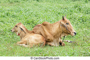 Brown cow is resting in the pasture.
