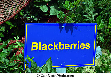 Blackberry, berry plant - Blackberry with berries and green...