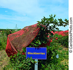 Blackberry, berry plant. - Blackberry with berries and green...