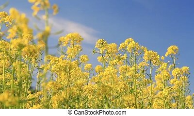 rapeseed field - Background of blooming rapeseed field