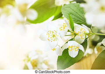 Jasmine flower - Beauty jasmine flower background,selective...