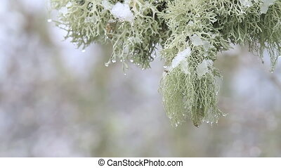 lichen, snow, water - Cold day, closeup of lichen, snow and...