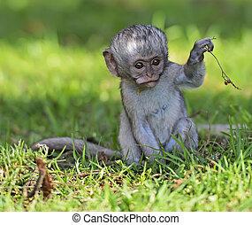 Vervet monkey (Chlorocebus pygerythrus) at a Nature Reserve...