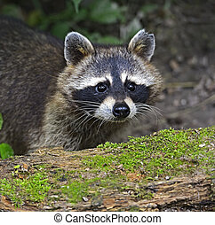Raccoon in the forest in the natural environment