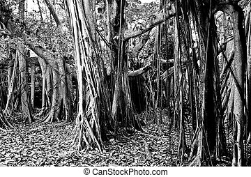 Banyan Trees - Large Banyan Tree Grove in Black and White