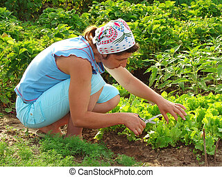 cropping - woman cropping green lettuce from the vegetable...