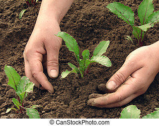 hoeing - woman hands earthing beetroot sprouts closeup...