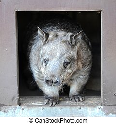 Wombat - A close up shot of an Australian Wombat