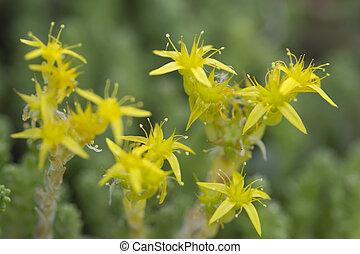 Yellow Mossy Stonecrop macro, June in Varmland, Sweden.